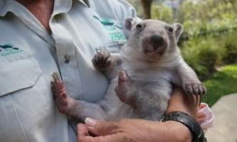 Зоопарк таронга представив сирітку-вомбата хлою