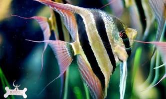 """Акваріумні рибки скалярии: """"рибки-ангели"""""""
