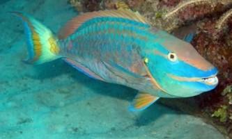 Акваріумні риби-папуги