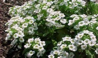 Алиссум морської - ніжне рослина, що виростає на скелях