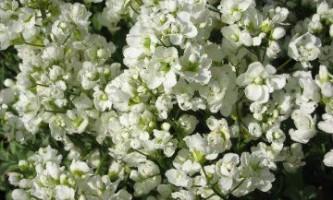 Арабіс на фото вирощування арабиса
