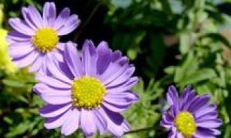 Брахікома: вирощування і догляд