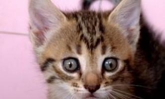 Чим годувати кошенят 1 місяць: поради котячих мам