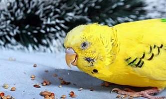 Чим годувати хвилястого папугу, крім корму - корисні поради господарям вихованця