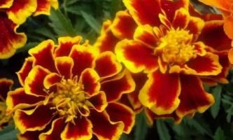 Квітки чорнобривці: вирощування і догляд