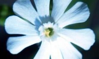 Дрімота біла, білувата, аврора біла (melandrium album mill)