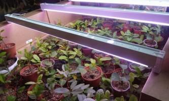 Фітолампи для підсвічування рослин