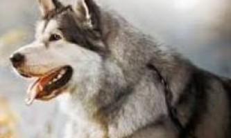 Фотографії картинки аляскинских маламутов