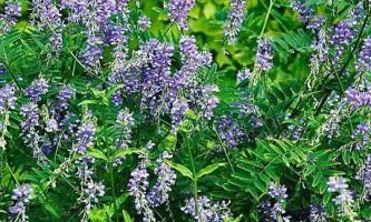 Галега (трава): лікувальні властивості, протипоказання рецепти