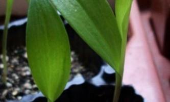 Глориоза з насіння - секрети вирощування