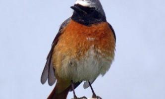 Горихвостка звичайна - птах красива і корисна