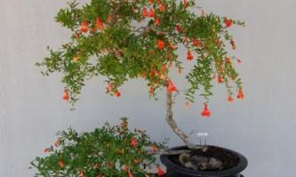 Гранат: квіти. Кімнатний гранат: вирощування і догляд
