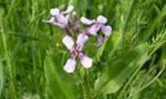 Хоріспора ніжна (chorispora tenella (pall) dc)