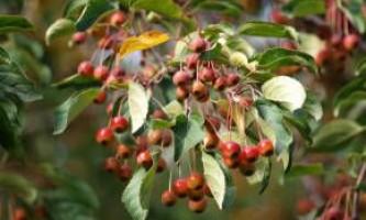 Яблуня хубейськая