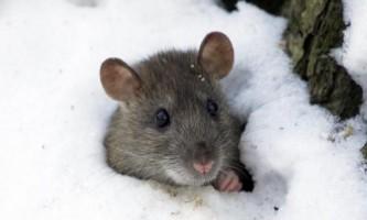 Ефективні засоби від мишей на дачі