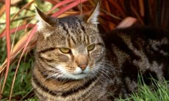 Як лікувати дерматит у кішки