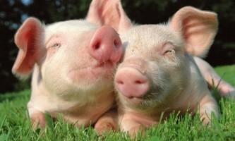 Як визначити свинячий грип