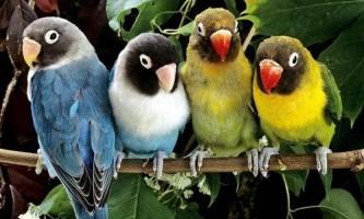 Як відрізнити папуг-нерозлучники