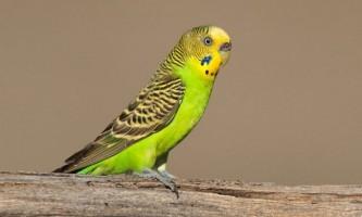 Як відрізнити самок папужок від самців