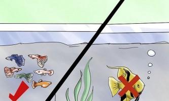 Як підібрати сумісних сусідів по акваріуму для гуппі