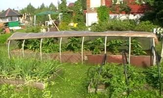Як садити помідори насінням в грунт