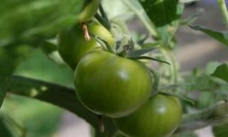 Як зробити ікру з зелених помідорів на зиму