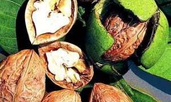 Як виростити волоський горіх з горіха