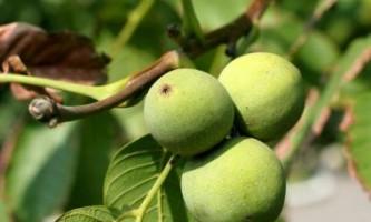 Як виростити волоський горіх з насіння?