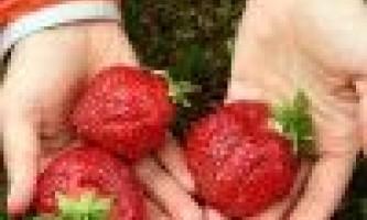 Як виростити садову суницю з насіння