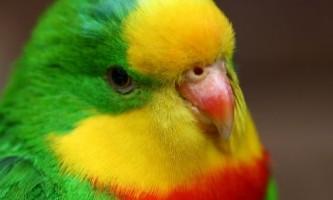 Які бувають папуги