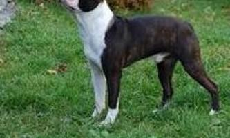 Карликові породи собак з фото і назвою