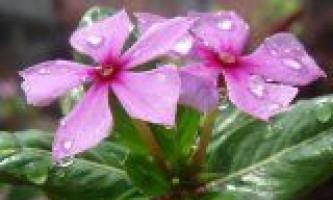 Катарантус рожевий в медицині і для краси