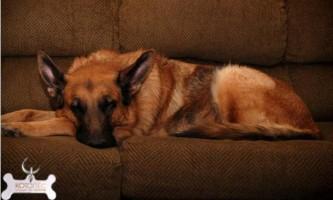 Шкірні струпи у собак