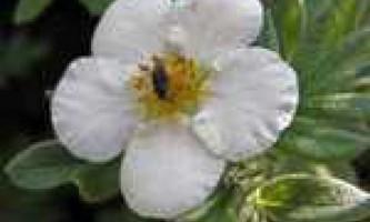 Лапчатка біла