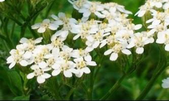 Лікувальні властивості деревію, застосування квіток деревію в медицині