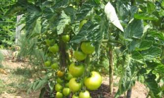 Кращі сорти томата для відкритої грунту. Популярні сорти томатів для відкритого грунту
