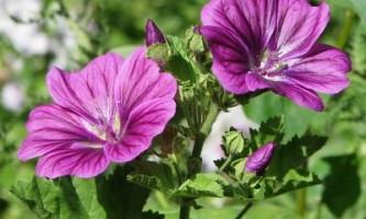 Мальва багаторічна: розмноження насінням і догляд за рослиною