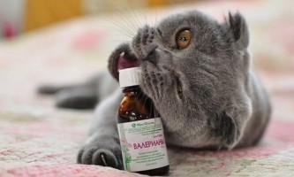 Чи можна давати коту валер`янку? Що буде, якщо тварина її спробує?