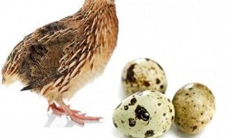 Перепелині яйця натщесерце: користь і шкода