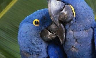 Чому папуги вміють говорити