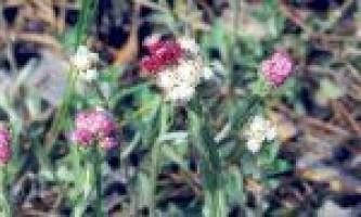 Користь трави котячі лапки