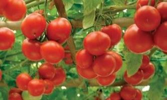 Помідорне дерево спрут f1 - як отримати максимальний урожай?
