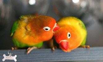 Папуги нерозлучники в домашніх умовах