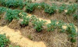 Посадка картоплі культиватором