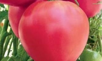 Пізні сорти томатів