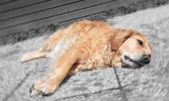 Профілактика чумки у собак