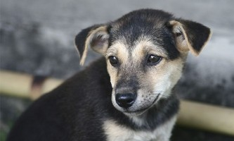Рак щитовидної залози (аденокарцинома) у собак