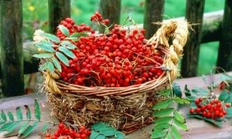 Горобина: корисні властивості рослини і протипоказання до його застосування