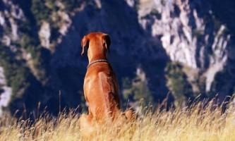 Родезійський риджбек (фото): спритний мисливець і сміливий сторож