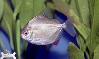 Риба-дзеркало (метінніси звичайний)